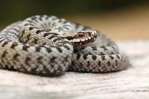 wyłapywanie węży